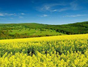 biopaliva - řepka olejka