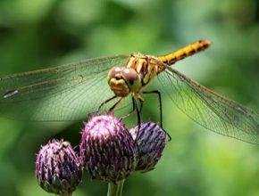 Vážky umí se silou větru přirozeně pracovat. A proto se od nich vědci inspirovali.